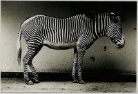 9_zebra.jpg